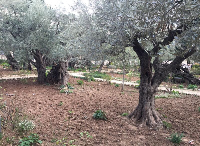 Garden of Olives